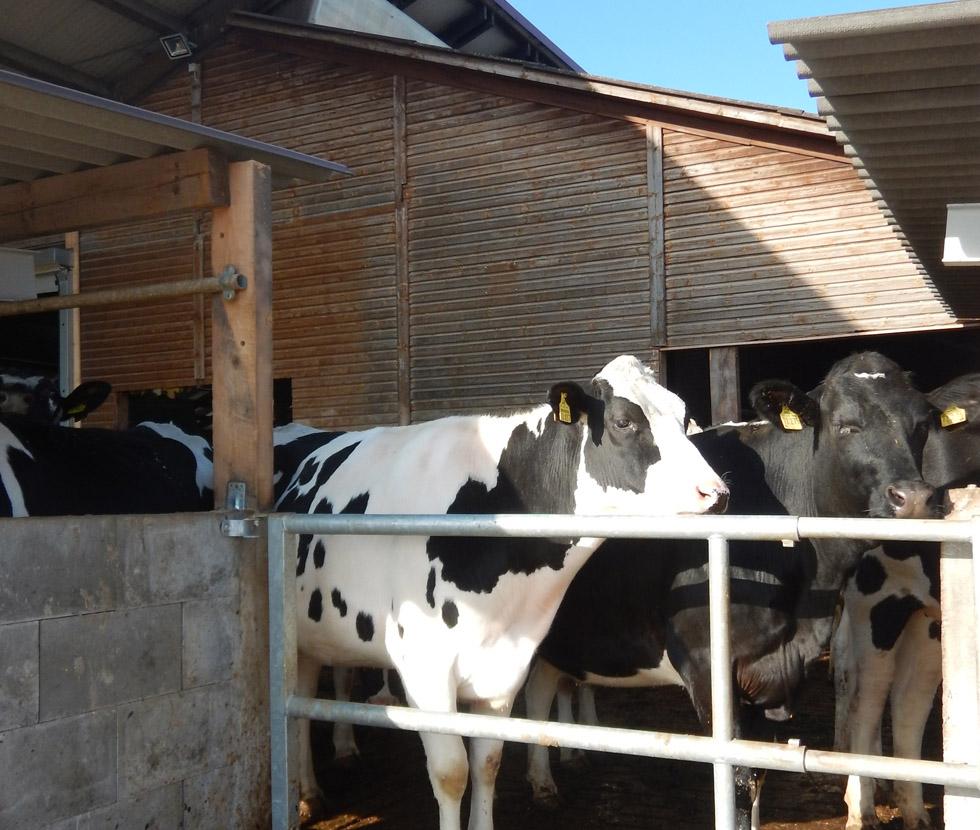 Milchviehhaltung in Möckenau