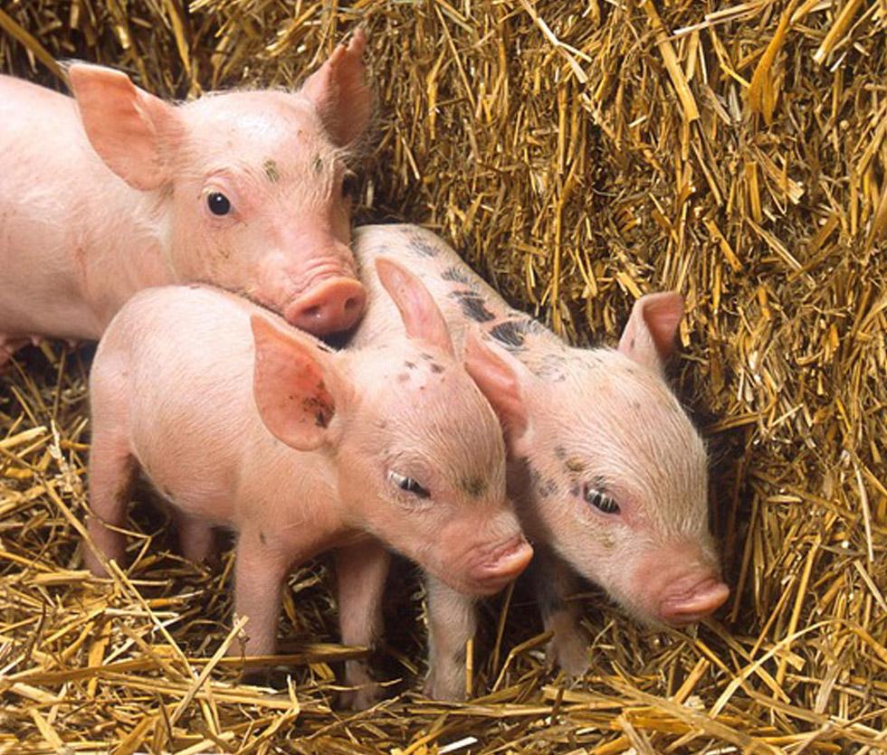 Firmengruppe Armin Nürnberger: Ferkelaufzucht und Schweinemast, Nbg Hofgut