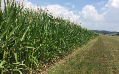 Der Mais nach dem (bisschen) Regen